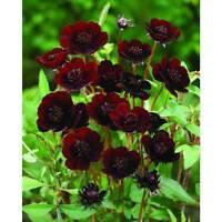 1 Pack 100 Rare Chocolate Cosmos Seeds Bipinnatus Calliopsis Flower Seeds S036