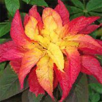 Amaranthus - Illumination- 100 Seeds