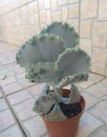COTYLEDON ORBICULATA UNDULATA 2 x  hoja /leaf cutting