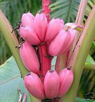 die Rosa Banane aus Kenia wächst im Wohnzimmer und gibt leckere Früchte !