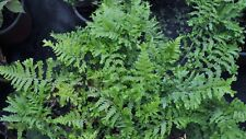 1 Japanese Holly Fern Cyrtomium fortunei foliage plant damp soil, bog
