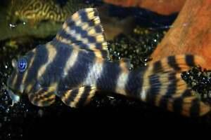 5CM Clown Pleco Algae Eating Pterygoplichthys Pardalis Tropical Fish L104 L162