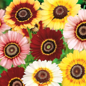 50 Pastel Painted English Daisy Seeds Chrysanthemum Flowers UK Giant Hardy Plant