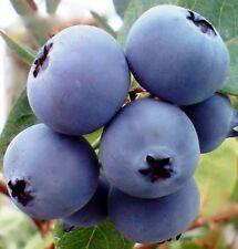 BLUEBERRY BURST Vaccinium Dwarf crisp sweet fruit tree plant in 140mm pot