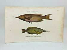 Original 1803 Shaw Hand Colored Copperplate Engraving Fish - Gomphosus