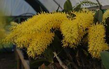 Den speciosum (Kroombit Gold x Mt Larsen) x Den spec 'Don Brown' , orchid plant