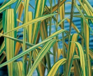 Variegated Norflok Reed Phragmites LIVE Plant Aquatic Pond Marginal Bog Lake