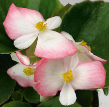 A 50 wax begonia seeds LUČENEC nice bicolor white and pink blooms