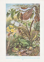 1910 Naturale Storia Double Sided Stampa ~ Chameleon/Colorare Di Insetti