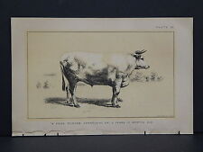 Cows Bulls Cattle Dairy Farming 1888 Engraving #006 A Prize Durham Charolaise Ox