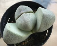 "Pleiospilos Nelii, Split Rock Cactus Cacti Succulent Plant 2.5"" Pot"