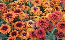 50 Rudbeckia Seeds Cherokee Sunset PERENNIAL