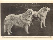 "Pyrenean Mountain Dog, Ch. ""Thora"", vintage print authentic 1935*"