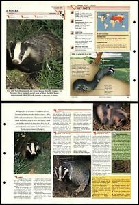 Badger #29 Mammals Wildlife Fact File Fold-Out Card