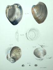 Fruits di mare Soprammobile ristorante Conchiglie - Litografia 19esimo