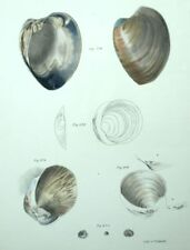 Fruits del mar Decoración restaurantes Conchas conchas - Litografía siglo XIX