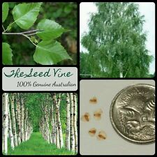 50+ SILVER BIRCH SEEDS (Betula pendula) Beautiful White Popular Deciduous Tree
