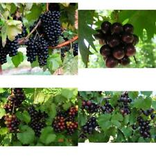 "4 Grape Live Plant Fruit Southern Home Four Plants 2"" Pot Outdoor Garden Yard"