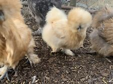 Able 6 X Bearded Blue Splash Silkie Hatching Eggs Cheap Sales 50% Backyard Poultry Supplies