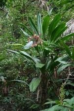 Broad- leaved Palm Lily(Cordyline petiolaris)   10 Seeds