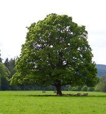 American sycamore/ Platanus occidentalis /Tree 5-Seeds / UK Seller*