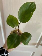 Rare Philodendron White Knight Full Rooted Plant Us Seller!