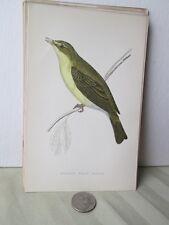 Vintage Print,MELODIOUS WILLOW WARBLER,#2,Morris British Birds,c1870