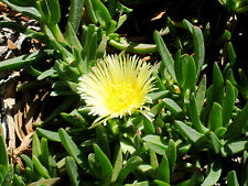 Ice Plant Three 5'' Unrooted Yellow cuttings Succulent sour fig Cape fig sea