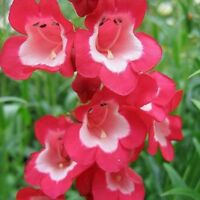 Penstemon- Scarlet Queen- 100 Seeds- BOGO 50% off SALE
