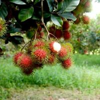 BIG GRAFTED Rambutan  EXOTIC FRUIT live tree 2'-4' Tall