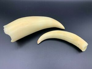 whale tooth 2 pcs,made plastic, copy 290g