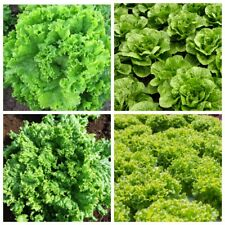 Seeds Salad Lettuce Odesskiy Kucherya May's Queen Snowflake Coral Vegetable