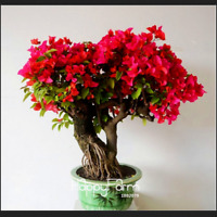 Red Bougainvillea Spectabilis Perennial Bonsai Flowers 2021 Rare N 100 PCS Seeds