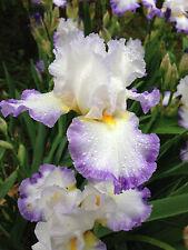 Tall Bearded Iris Perfect Union White Lavender Tb Perennial Plant Rhzome