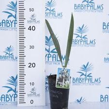 BISMARCKIA NOBILIS height 30-40 cm  pot 12 cm