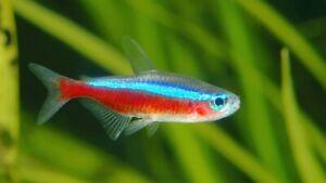 CARDINAL TETRA - PEACEFUL VIBRANT NEON COLOURFUL FRESH WATER AQUARIUM LIVE FISH