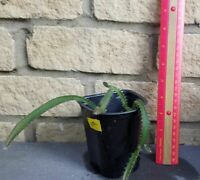 2+ Rooted Yellow Dragon Fruit Live Plants, Grown From Seed Young Plants