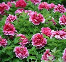 Competition Pink Flower China's Peony Seeds Paeonia suffruticosa Tree Garden