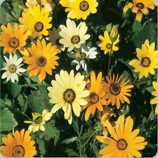 50 African Daisy Yellow Seeds