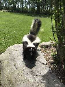 SKUNK TAXIDERMY MOUNT WILDLIFE ART