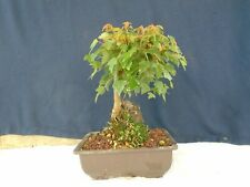 "M34 Japanese trident maple tokaede ""acer buergerianum"" root over rock bonsai"