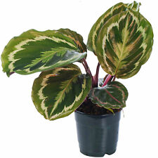 Calathea Medallion Indoor Potted Plant for Home or Office
