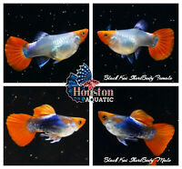 1 TRIO - Live Guppy Fish High Quality - Black Koi Short Body - USA Seller