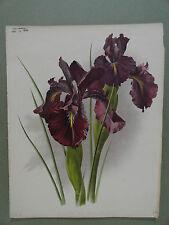 English Iris Leon Tolstoi The Garden 1894 Chromolithograph Print M. West Severey