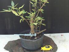 Chaste Tree Vitex Pre-Bonsai
