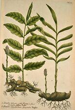 J. W Weinmann ORIG Mezzotint 1739 jengibre Ginger Ingber Imber zinziber especia