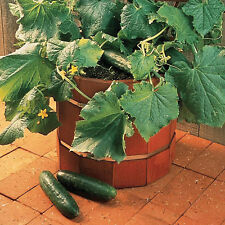 Kings Seeds - Cucumber Salad Bush F1 - 6 Seeds