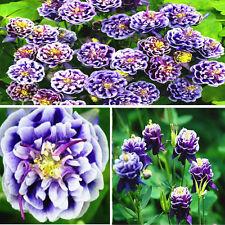 Semillas de Aquilegia vulgaris Jardín planta de flor de Columbine doble 50PC