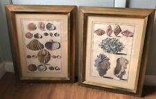 Vintage pair Copperplate engravings Gualtieri Seashells framed Scofields CA