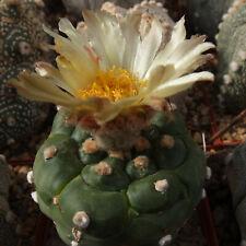 2x20 Korn Japan cv. *KIKKO-TURTLE* asterias Astrophytum Kakteen Ariocarpus